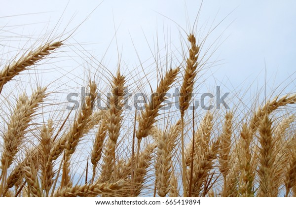 Barley in summer