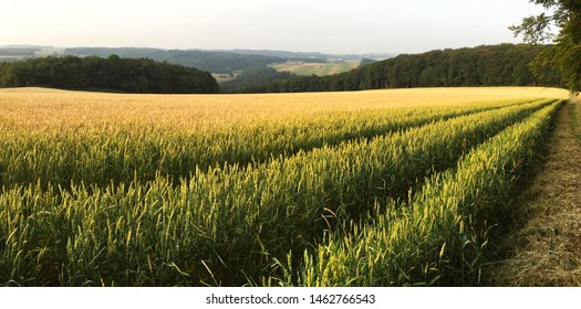 Barley / Wheat / Rye Crop Field and Eifel Landscape in Germany - North Rhine-Westphalia (Triticale)