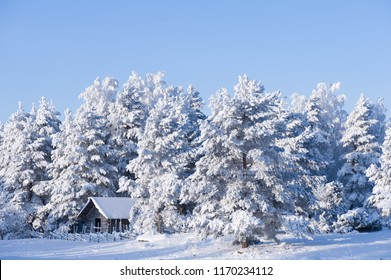 Barn and frost covered trees in winter landscape.