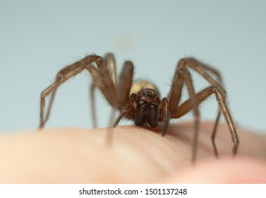 Barn funnel weaver, Tegenaria domestica spider on human skin, this spider can often be found in human homes