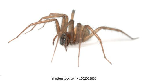Barn funnel weaver, Tegenaria domestica spider isolated on white background, this spider can often be found in human homes