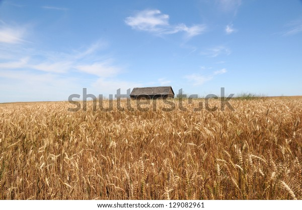 A barn in the golden wheat field