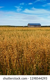 The barn houses seem to vanish in the sea of oat fields at the rural Finland. These are truly the fields of gold.