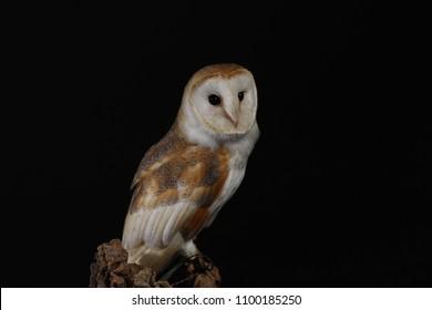 barn owl - against black background