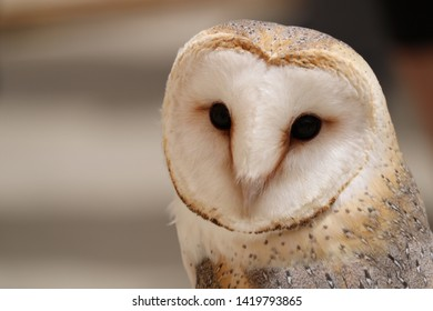 barn owl bird predator photography