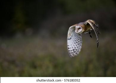 Barn Owl Canadian Raptor Conservancy