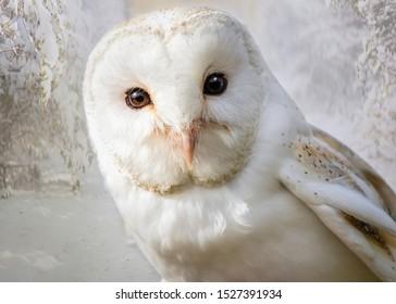 Barn Owl close up looking at the camera