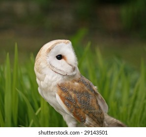 Barn Owl close-up, looking over shoulder.