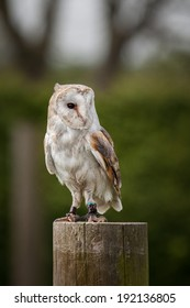 Barn owl in the country side