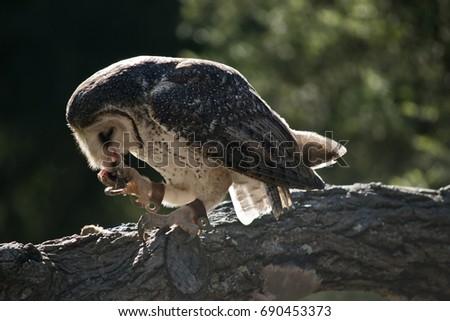 Barn Owl Eating Chicken Stock Photo Edit Now 690453373 Shutterstock