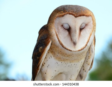 Barn owl with eyes closed