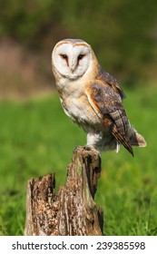 Barn owl facing the camera. A beautiful barn owl stares at the camera from its perch on a tree stump.