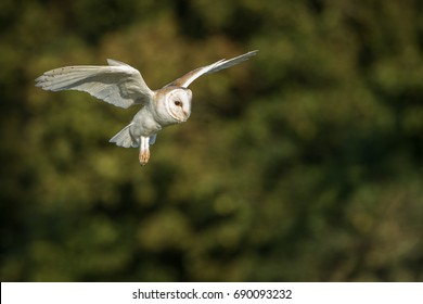 Barn owl in flight with green foliage in background.