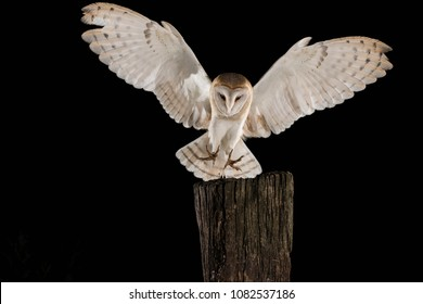 Barn Owl, in flight hunting, black background, Tyto alba
