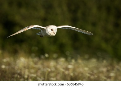 Barn owl in flight over English wild flower meadow with green foliage in the background.