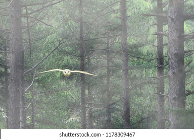 Barn owl in flight in the woods