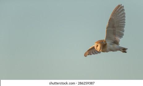A barn owl flying