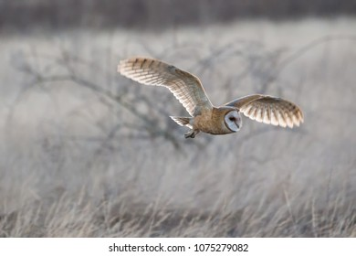 Barn owl hunting for food at BC Canada