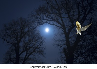Barn Owl hunting for rodents and moonlight night December