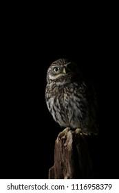 Barn Owl - Isolated