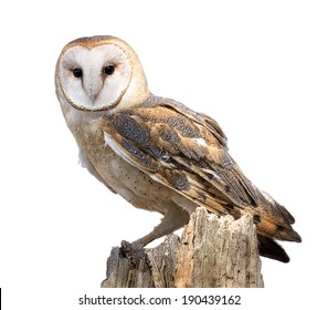 A barn owl isolated on a white background. Perched on a dead tree stump. Barn Owls are silent predators of the night world.