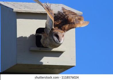 Barn Owl Leaving Nesting Box Mid-flight