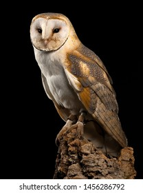Barn Owl, Liberty's Raptor and Reptile Center, Ringwood, Hampshire