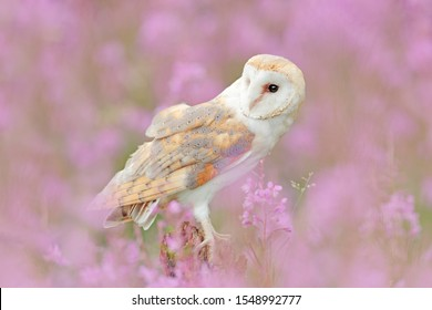 Barn Owl in light pink bloom, clear foreground and background, Great Britain. Wildlife spring art scene from nature with bird. Beautiful nature scene with owl and flowers.