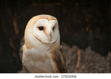 A barn owl looking to the right as a noise startles. This barn owl is in captivity and is a beautiful example of the avian group of birds.