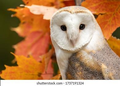 A barn owl in a maple tree