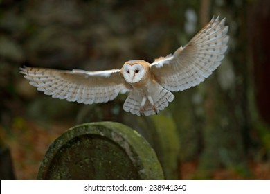Barn owl with nice wings landing on headstone in forest cemetery.