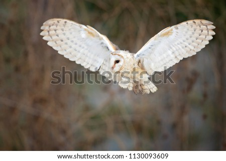 Image of: Hunting Barn Owl Is Nocturnal Over Most Of Its Range But In Britain And Some Pacific Shutterstock Barn Owl Nocturnal Over Most Range Stock Photo edit Now 1130093609