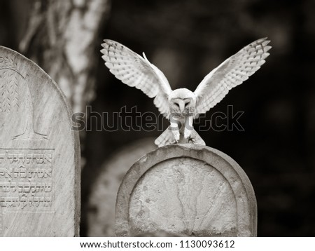 Image of: Hunting Barn Owl Is Nocturnal Over Most Of Its Range But In Britain And Some Pacific Islands It Also Hunts By Day Barn Owls Specialise In Hunting Animals On The Shutterstock Barn Owl Nocturnal Over Most Range Stock Photo edit Now 1130093612