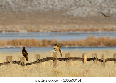 Barn owl and a Northern Harrier hawk perched on a fence in a nature study area in Northern Nevada.