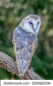 Barn owl on a branch
