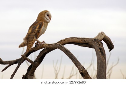 Barn owl on a dead branch with a light, cloudy background