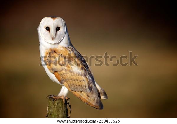 Barn Owl on a fence post