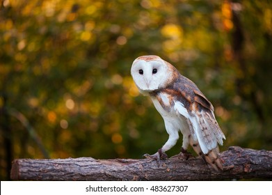 Barn Owl on a Log with Fall Color