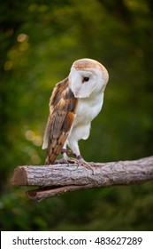 Barn Owl on a log with greenery