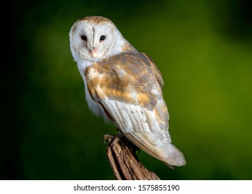 Barn Owl on a tree stump portrait