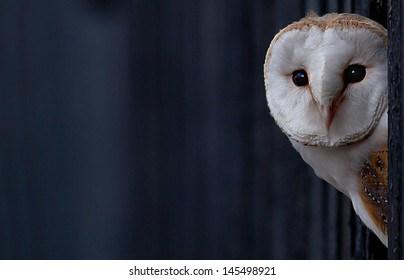 Barn Owl peering out