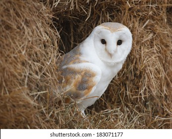 Barn Owl perched in a bale of straw