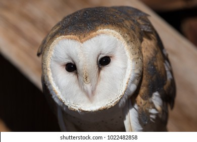 Barn Owl Perched Close Up