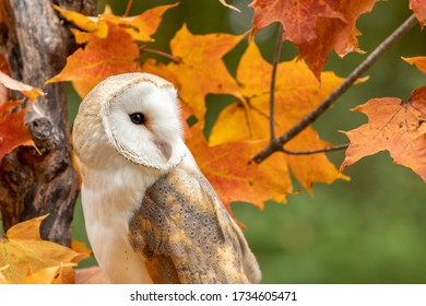 Barn owl perched on a fall tree