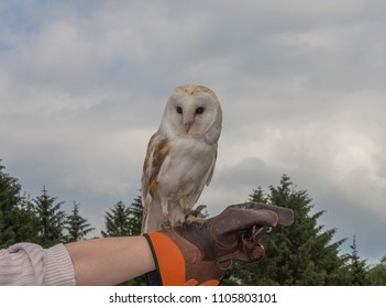 Barn Owl Perched on Gauntlet Leather Glove