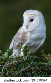 Barn Owl perched on ivy covered branch/Barn Owl/Barn Owl (tyto alba)