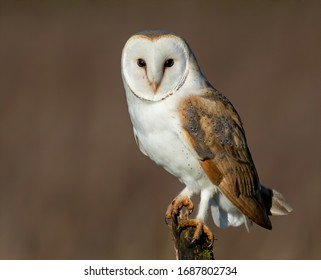 Barn Owl perched on post
