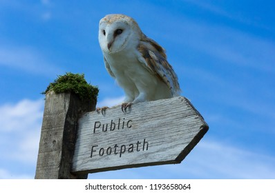Barn owl perched on a public footpath signpost.  Bright blue sky background. Scientific name: Tyto alba.  Landscape.