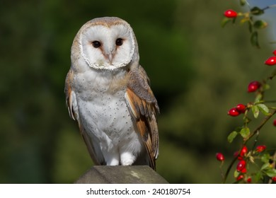 Barn owl perched on stone look alert and staring forward near red berries