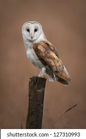 A Barn Owl rests on a fence post while hunting in the Fens